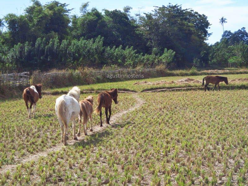 Kuda-Kuda Kekar Desa Mantar Sumbawa