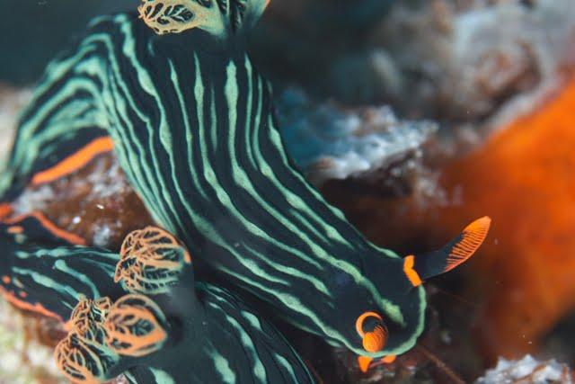 siput laut
