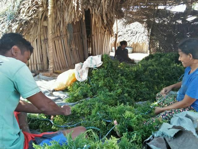 Memanen Rumput Laut di Pulau Sabu
