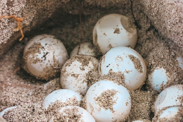 telur penyu