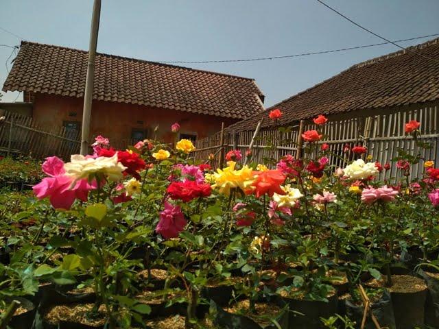 Semerbak Mawar di Desa Gunungsari