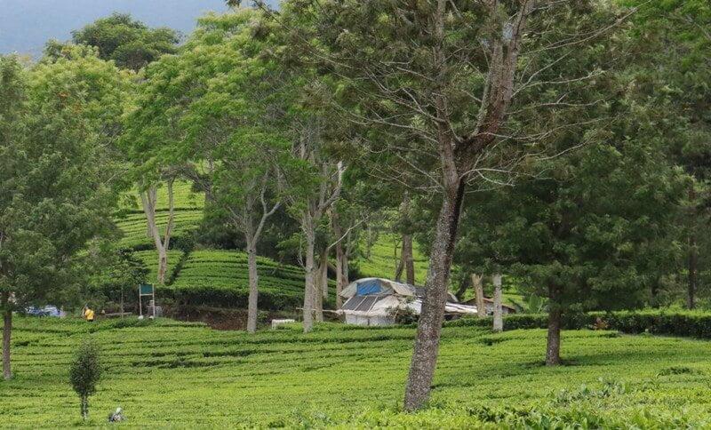 Kebun Teh Sukawana