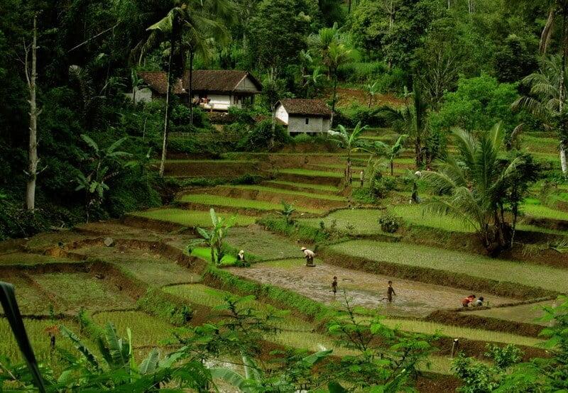 Sawah Abadi dan Pengembangan Wisata Agro