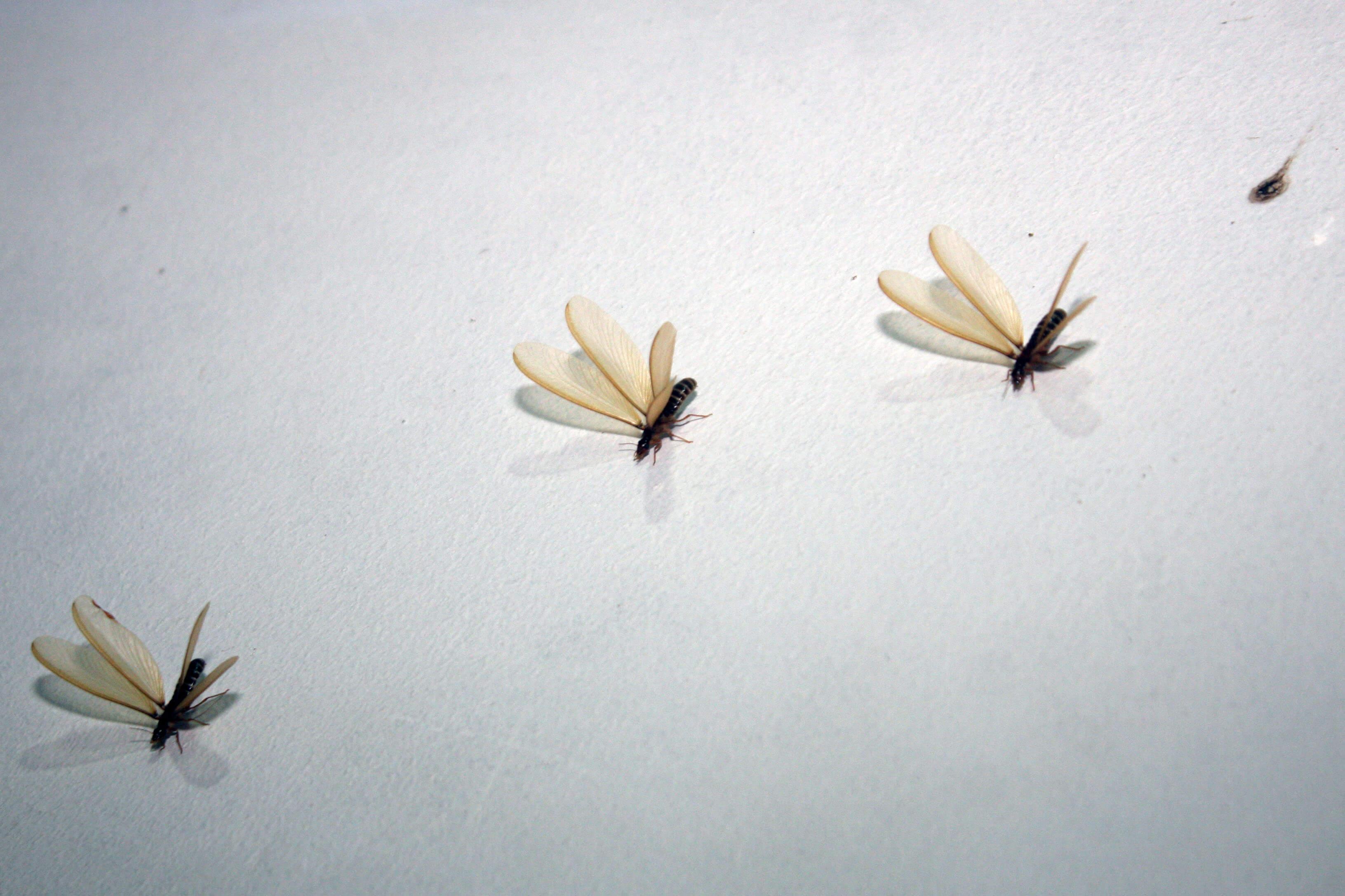 serangga yang bisa dimakan